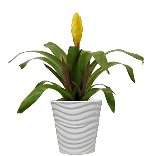 Costa Farms Flowering Bromeliad Indoor Plant Color-Grower's Choice, 12-Inches Tall